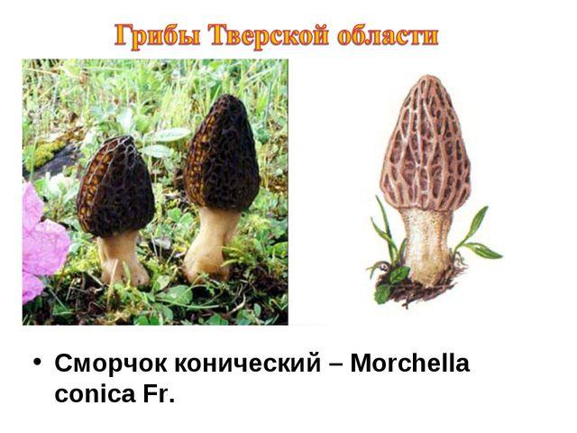 Сморчок конический – Morchella conica Fr.