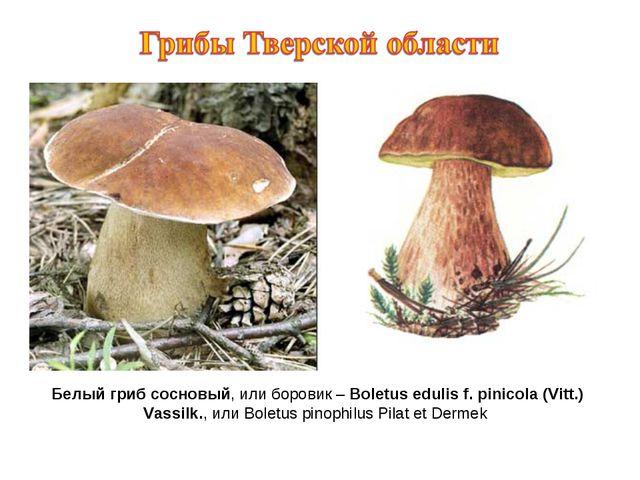 Белый гриб сосновый, или боровик – Boletus edulis f. pinicola (Vitt.) Vassilk...