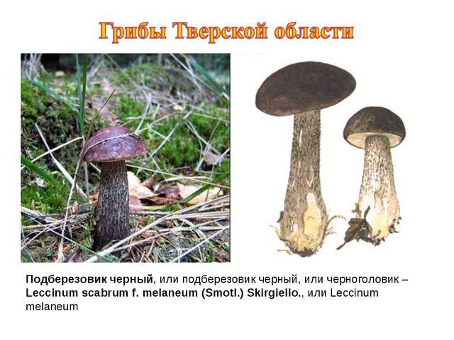 Подберезовик черный, или подберезовик черный, или черноголовик – Leccinum sca...
