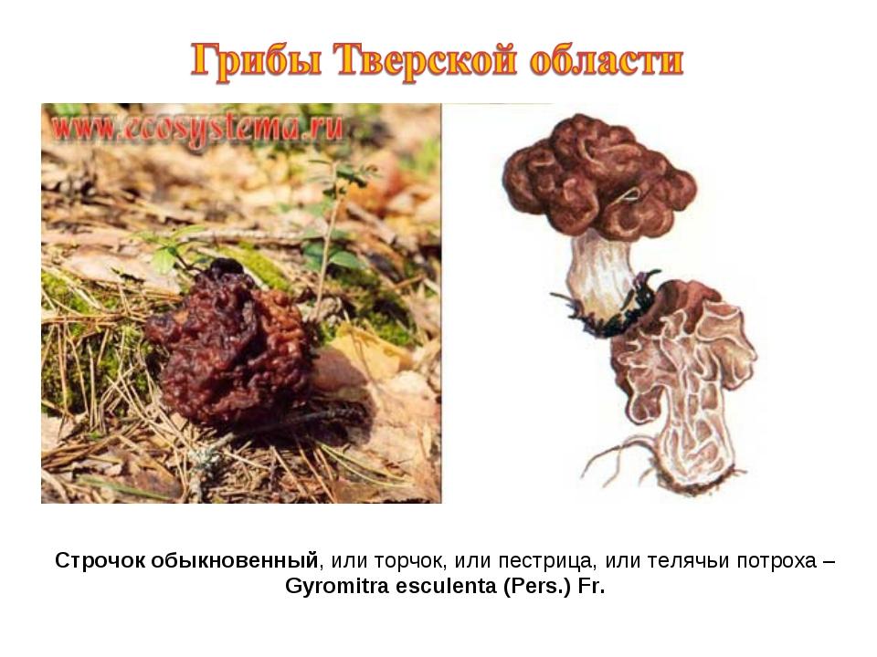 Строчок обыкновенный, или торчок, или пестрица, или телячьи потроха – Gyromit...