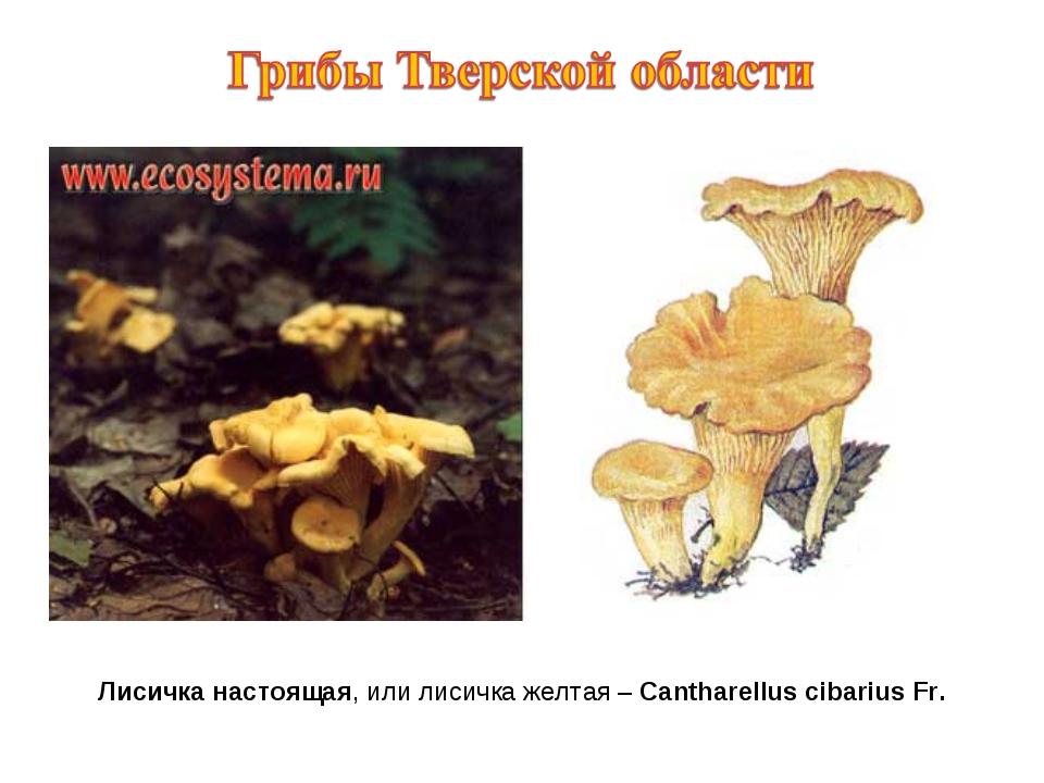 Лисичка настоящая, или лисичка желтая – Cantharellus cibarius Fr.