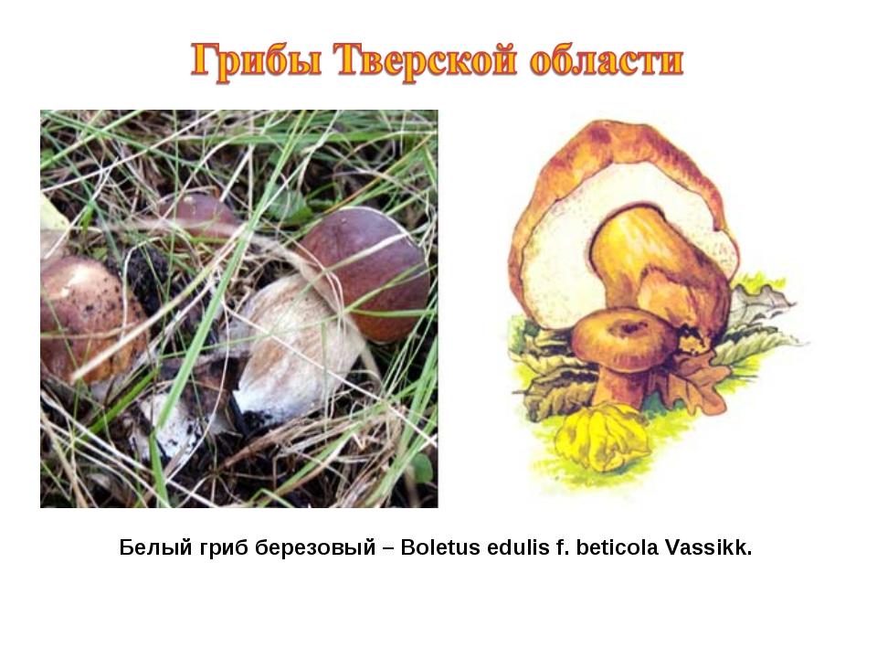 Белый гриб березовый – Boletus edulis f. beticola Vassikk.