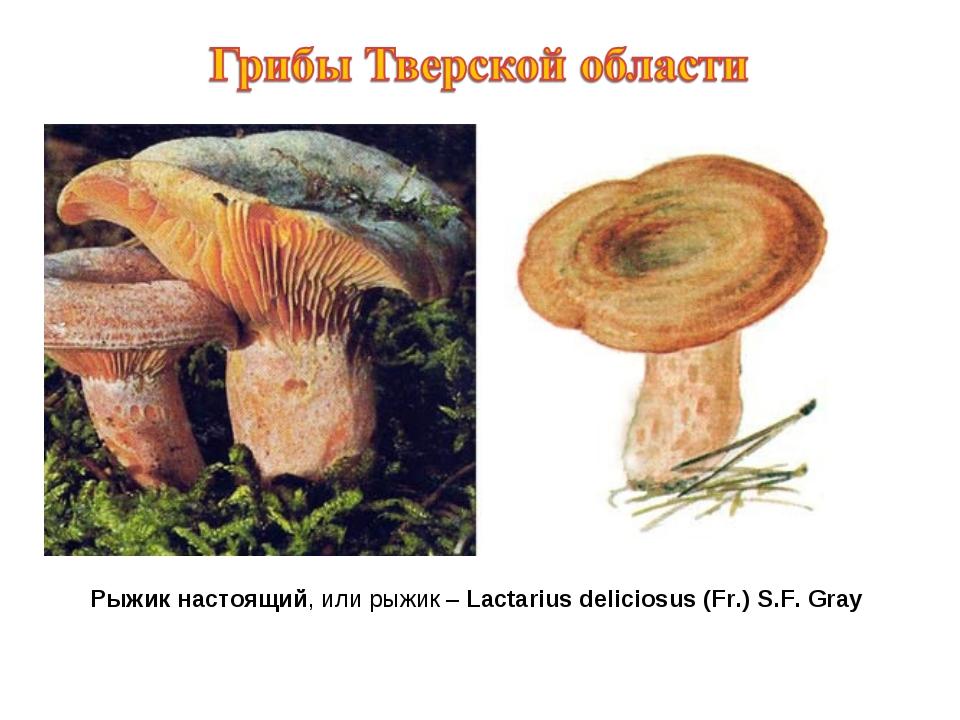 Рыжик настоящий, или рыжик – Lactarius deliciosus (Fr.) S.F. Gray