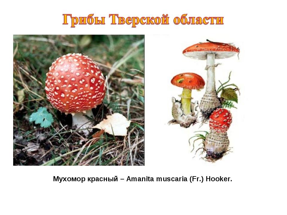 Мухомор красный – Amanita muscaria (Fr.) Hooker.