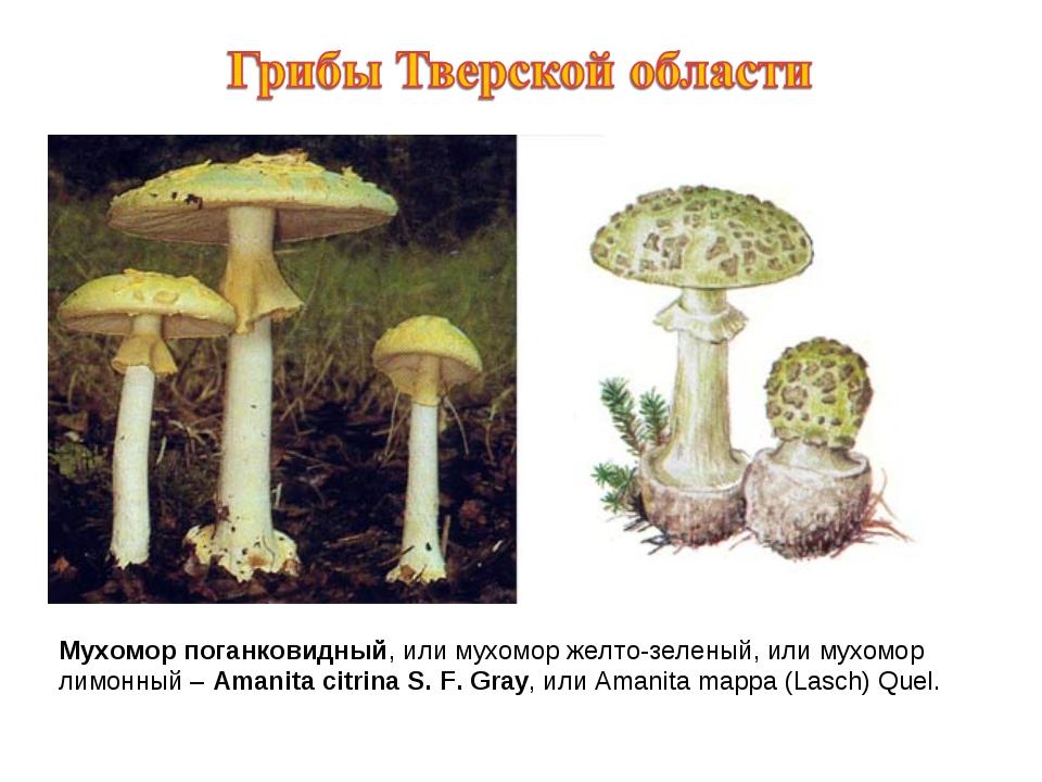 Мухомор поганковидный, или мухомор желто-зеленый, или мухомор лимонный – Aman...