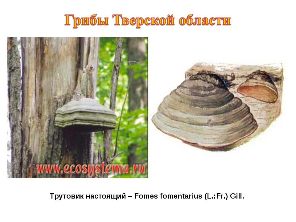 Трутовик настоящий – Fomes fomentarius (L.:Fr.) Gill.