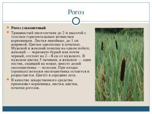 Рогоз Рогоз узколистный Травянистый многолетник до 2 м высотой с толстым гори