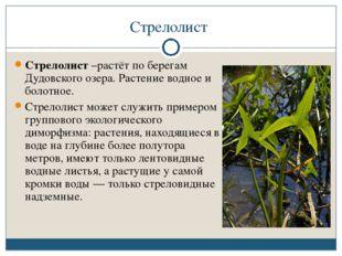 Стрелолист Стрелолист –растёт по берегам Дудовского озера. Растение водное и
