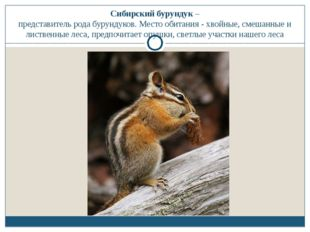 Сибирский бурундук – представитель рода бурундуков. Место обитания - хвойные,