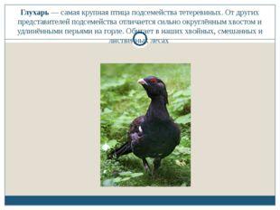 Глухарь — самая крупная птица подсемейства тетеревиных. От других представите