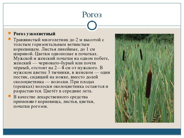 Рогоз Рогоз узколистный Травянистый многолетник до 2 м высотой с толстым гори...