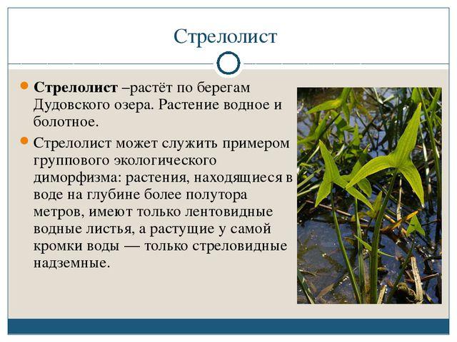 Стрелолист Стрелолист –растёт по берегам Дудовского озера. Растение водное и...