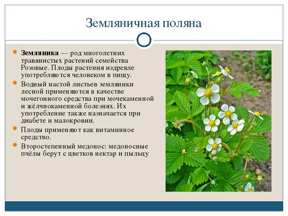 Земляничная поляна Земляника — род многолетних травянистых растений семейства...