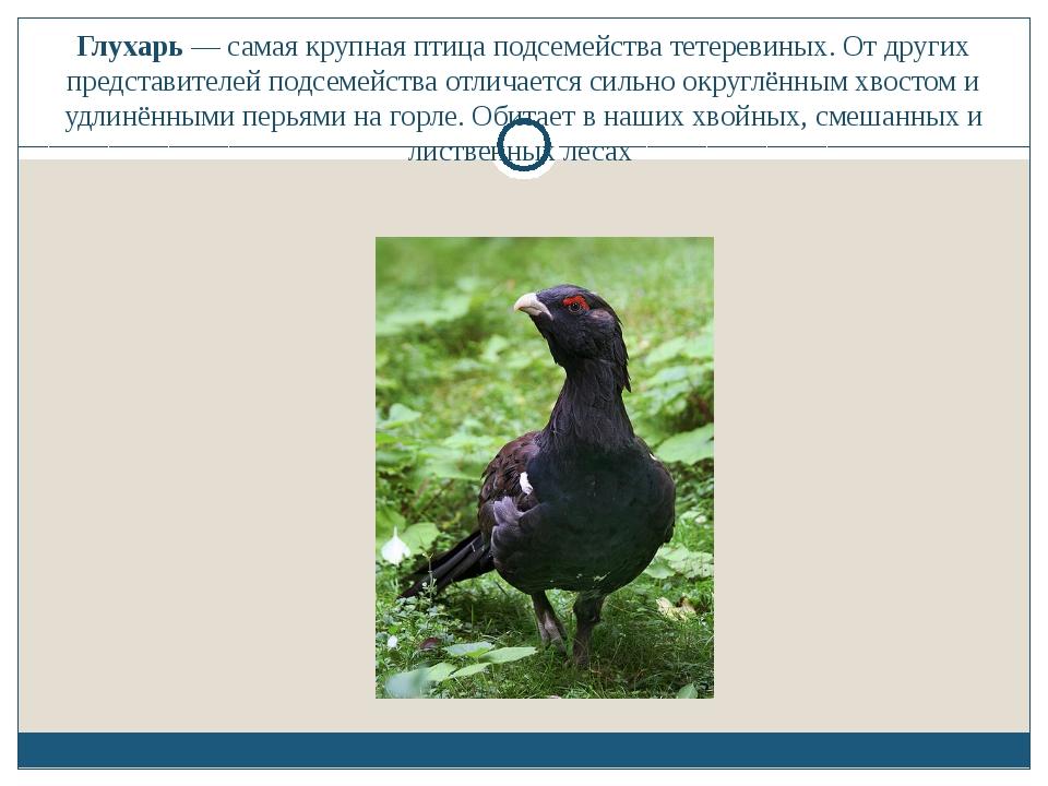 Глухарь — самая крупная птица подсемейства тетеревиных. От других представите...