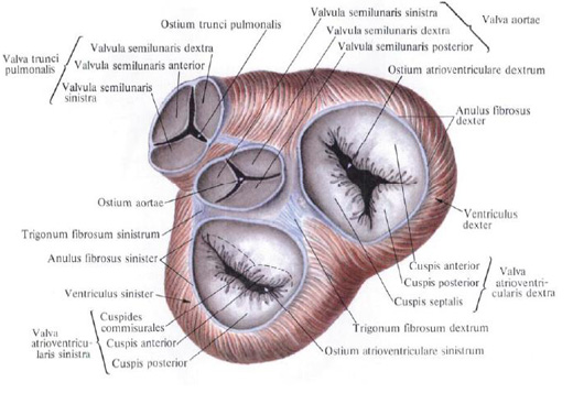 http://en.shram.kiev.ua/img/health/anatomy/11.jpg