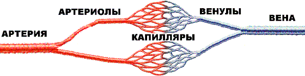 http://infarkt.ukrhost.com/images/capillary.gif