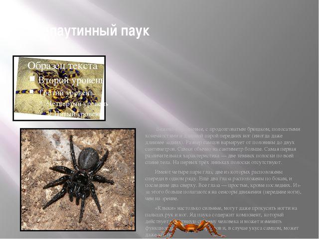 лейкопаутинный паук Бежево-коричневые, с продолговатым брюшком, полосатыми ко...