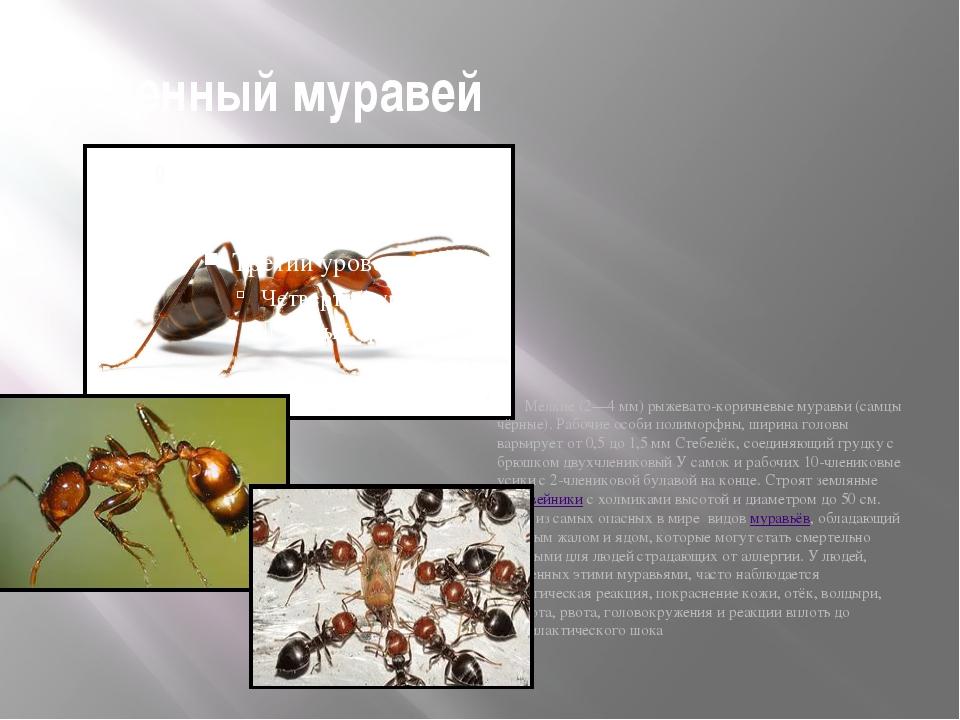 огненный муравей Мелкие (2—4 мм) рыжевато-коричневые муравьи (самцы чёрные)....