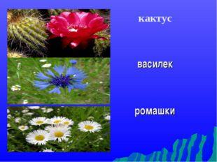 кактус василек ромашки