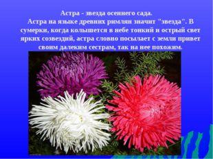 """Астра - звезда осеннего сада. Астра на языке древних римлян значит """"звезда""""."""