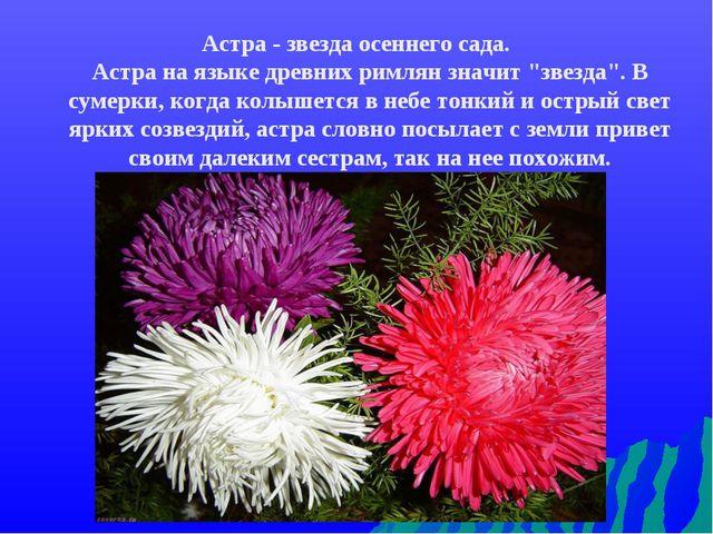 """Астра - звезда осеннего сада. Астра на языке древних римлян значит """"звезда""""...."""