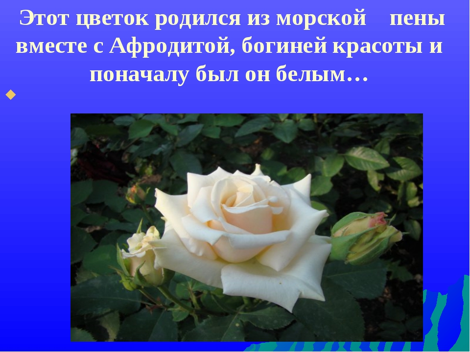 Этот цветок родился из морской пены вместе с Афродитой, богиней красоты и по...
