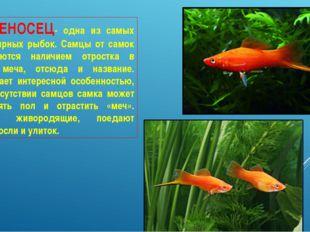 МЕЧЕНОСЕЦ- одна из самых популярных рыбок. Самцы от самок отличаются наличием