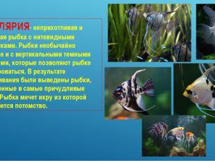 СКАЛЯРИЯ- неприхотливая и красивая рыбка с нитевидными плавниками. Рыбки необ