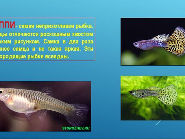ГУППИ- самая неприхотливая рыбка. Самцы отличаются роскошным хвостом с ярким...