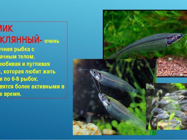 СОМИК СТЕКЛЯННЫЙ- очень необычная рыбка с прозрачным телом. Миролюбивая и пуг...