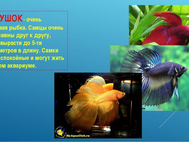 ПЕТУШОК- очень красивая рыбка. Самцы очень агрессивны друг к другу, могут выр...