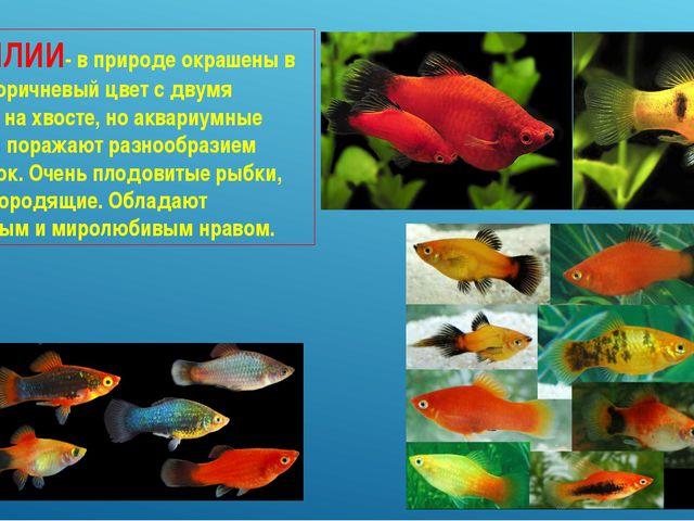 ПЕЦИЛИИ- в природе окрашены в желто-коричневый цвет с двумя пятнами на хвосте...