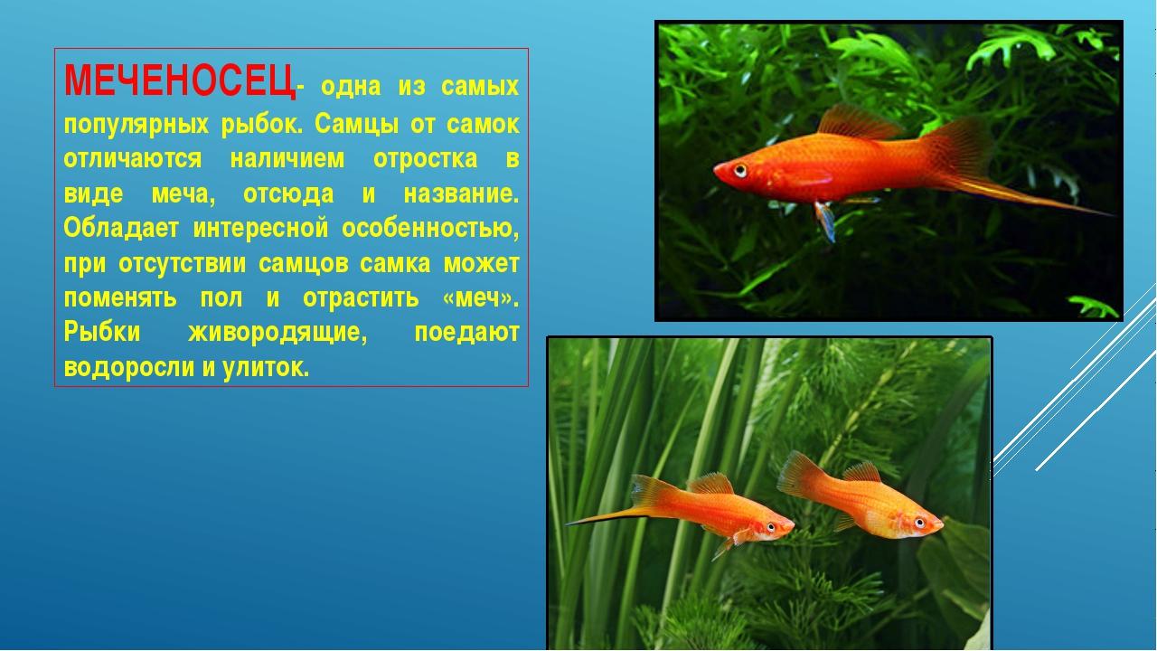 МЕЧЕНОСЕЦ- одна из самых популярных рыбок. Самцы от самок отличаются наличием...