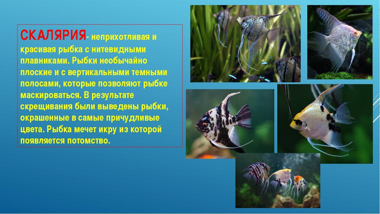 СКАЛЯРИЯ- неприхотливая и красивая рыбка с нитевидными плавниками. Рыбки необ...