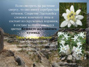 Если смотреть на растение сверху, то оно имеет серебристый оттенок. Соцветие