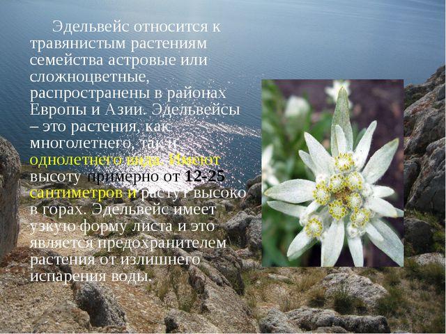 Эдельвейс относится к травянистым растениям семейства астровые или сложноцве...