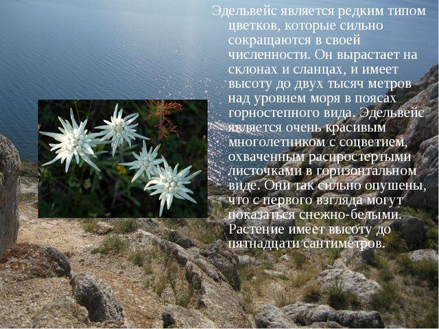 Эдельвейс является редким типом цветков, которые сильно сокращаются в своей ч...
