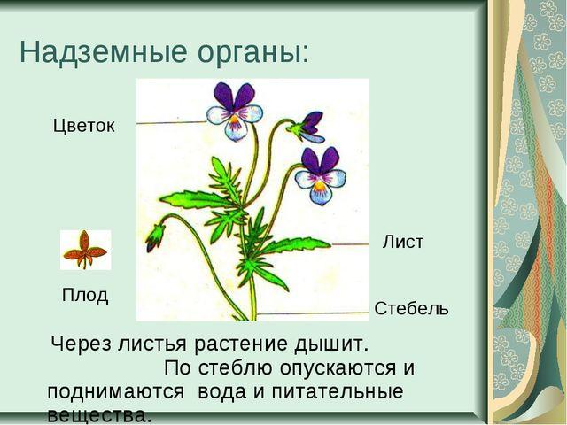 Надземные органы: Через листья растение дышит. По стеблю опускаются и поднима...