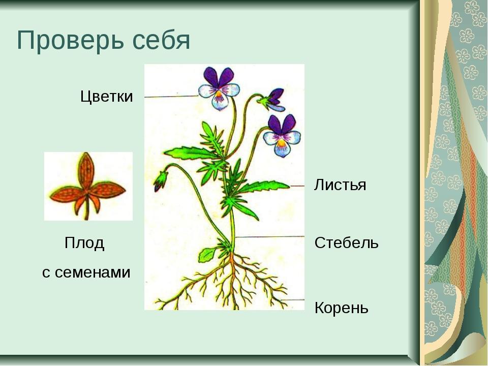 Проверь себя Цветки Листья Стебель Корень Плод с семенами
