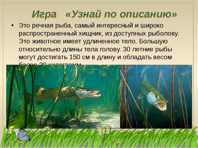 Игра «Узнай по описанию» Это речная рыба, самый интересный и широко распростр...