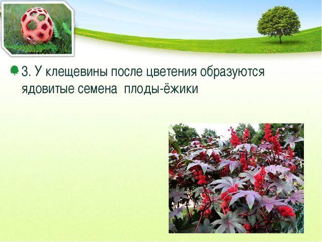 3. У клещевины после цветения образуются ядовитые семена плоды-ёжики