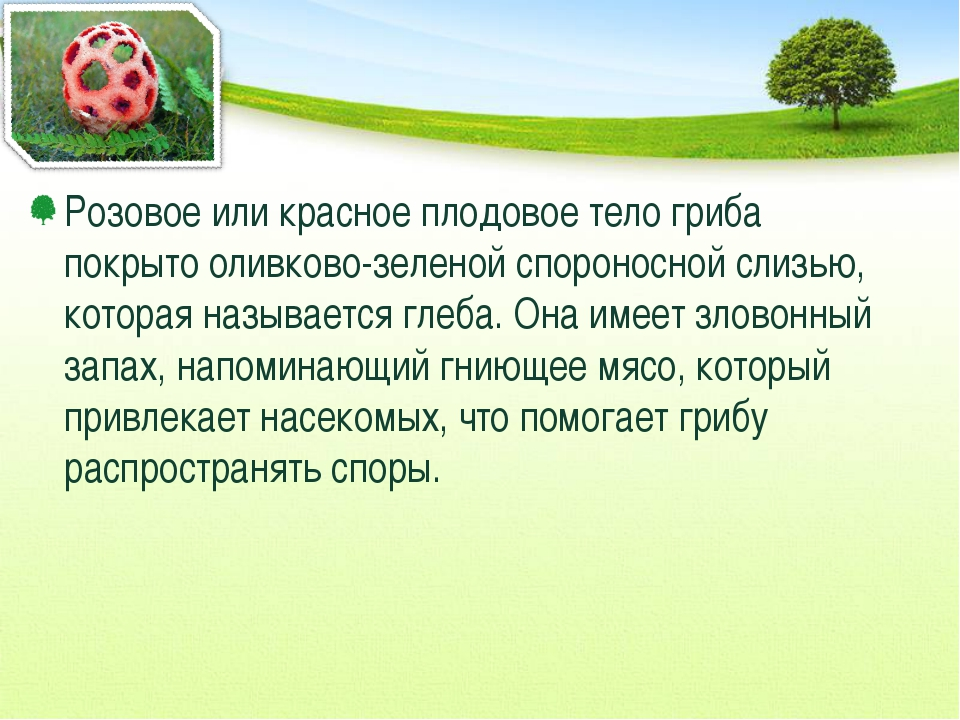 Розовое или красное плодовое тело гриба покрыто оливково-зеленой спороносной...