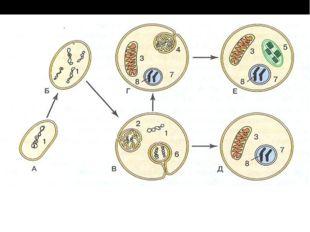 Гипотеза мембраногенеза Гипотеза: эукариотная клетка возникла из прокариотной