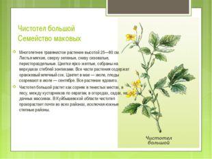 Чистотел большой Семейство маковых Многолетнее травянистое растение высотой 2