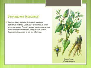 Белладонна (красавка) Белладонна (красавка). Растение с высоким ветвистым сте
