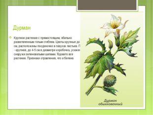 Дурман Крупное растение с прямостоящим, обильно разветвленным голым стеблем.