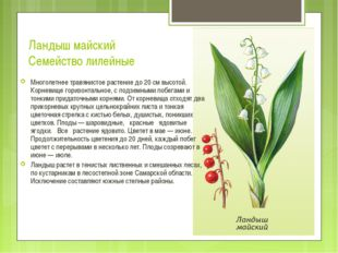 Ландыш майский Семейство лилейные Многолетнее травянистое растение до 20 см в
