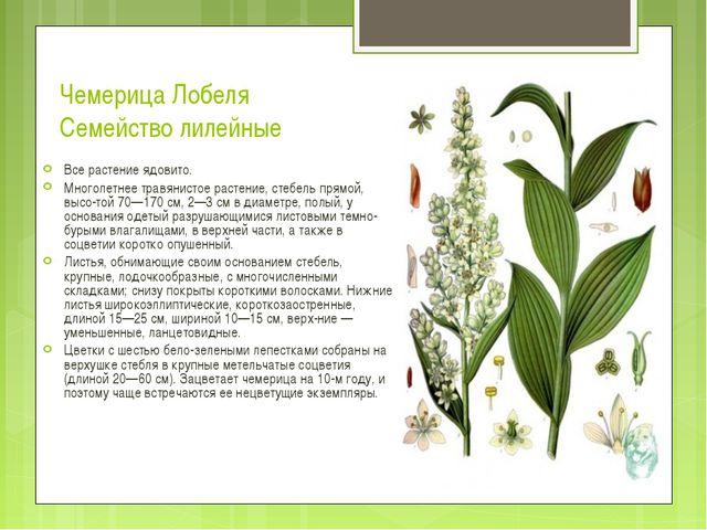 Чемерица Лобеля Семейство лилейные Все растение ядовито. Многолетнее травянис...