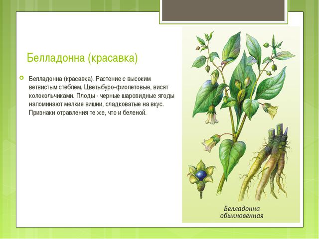 Белладонна (красавка) Белладонна (красавка). Растение с высоким ветвистым сте...