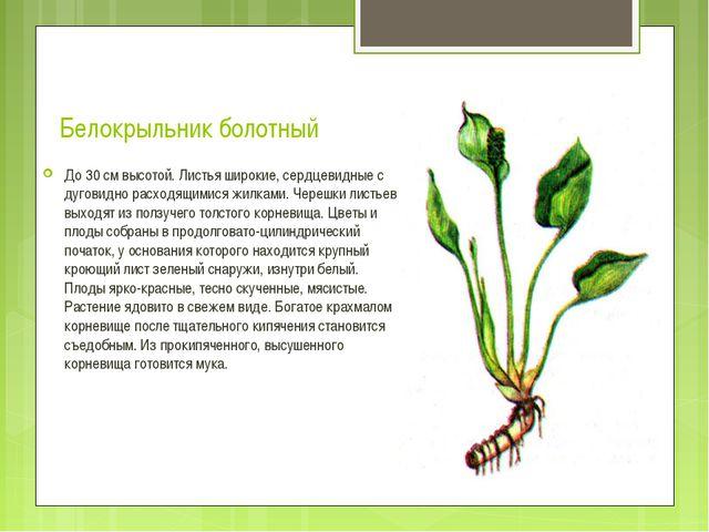 Белокрыльник болотный До 30 см высотой. Листья широкие, сердцевидные с дугови...